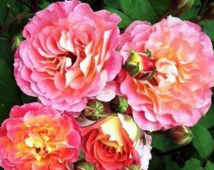 Роза мишель бедросьян энциклопедия роз 84